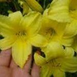Асортимент різновидів лілійників в інтернет-магазин садових рослин «Пролісок»