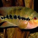 Идеальный выбор для тех, кто начинает свое знакомство с таким видом деятельности как аквариумистика.