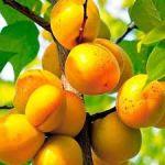 Купить саженцы абрикоса на сайте Megasad