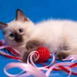 Питомник Невских маскарадных кошек