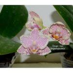 Почему орхидею считают капризным цветком
