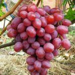 Саженцы винограда: популярный сорт