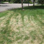 Вредители газона и лечение газона