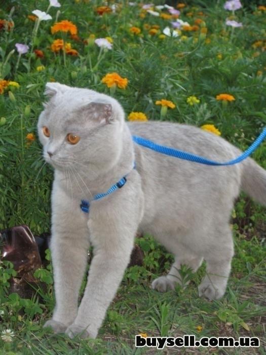 Вязка! Котик ищет кошечку! изображение 2