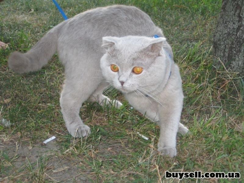 Вязка! Котик ищет кошечку! изображение 4