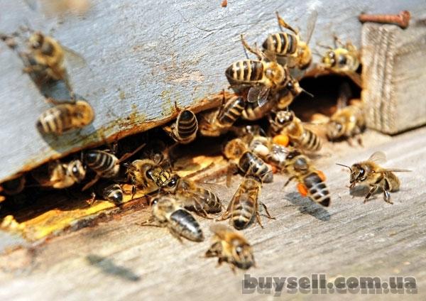 Пчелиные плодные (меченые)   Карпатка.   Доставка по Укр.