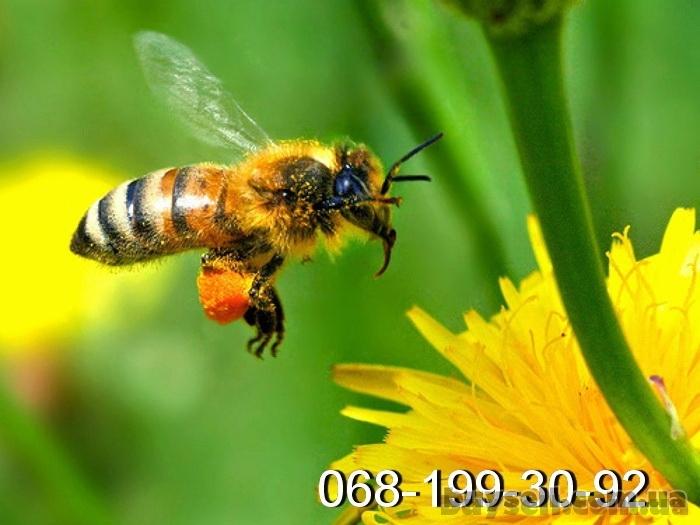 Пчелиные плодные (меченые)   Карпатка.   Доставка по Укр. изображение 2