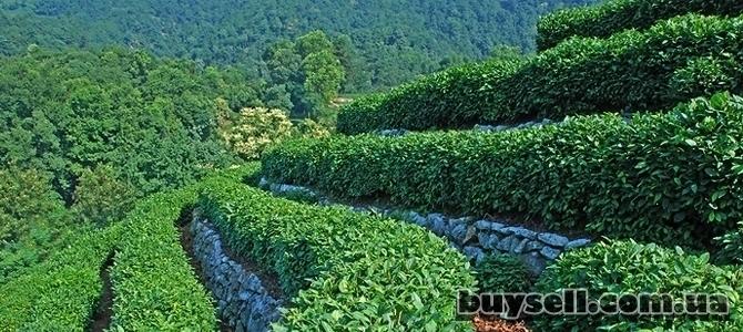 Высокогорный чёрный чай TIBETEA X.   O.    (30 шт.     по 5гр)    Tibe изображение 2