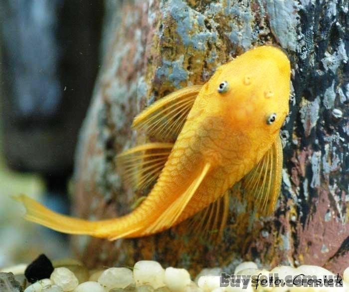 продажа аквариумных рыб собственного разведения в широком ассортименте изображение 2