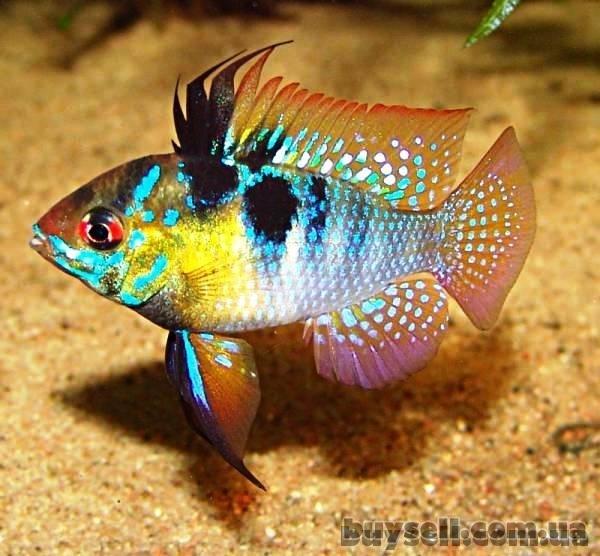 продажа аквариумных рыб собственного разведения в широком ассортименте