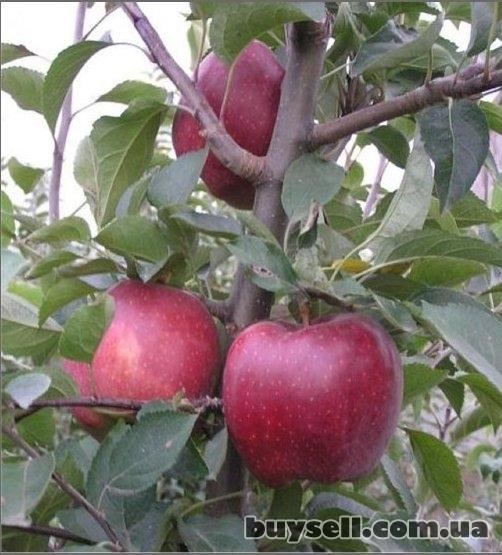 Продам саженцы фруктовых деревьев изображение 4