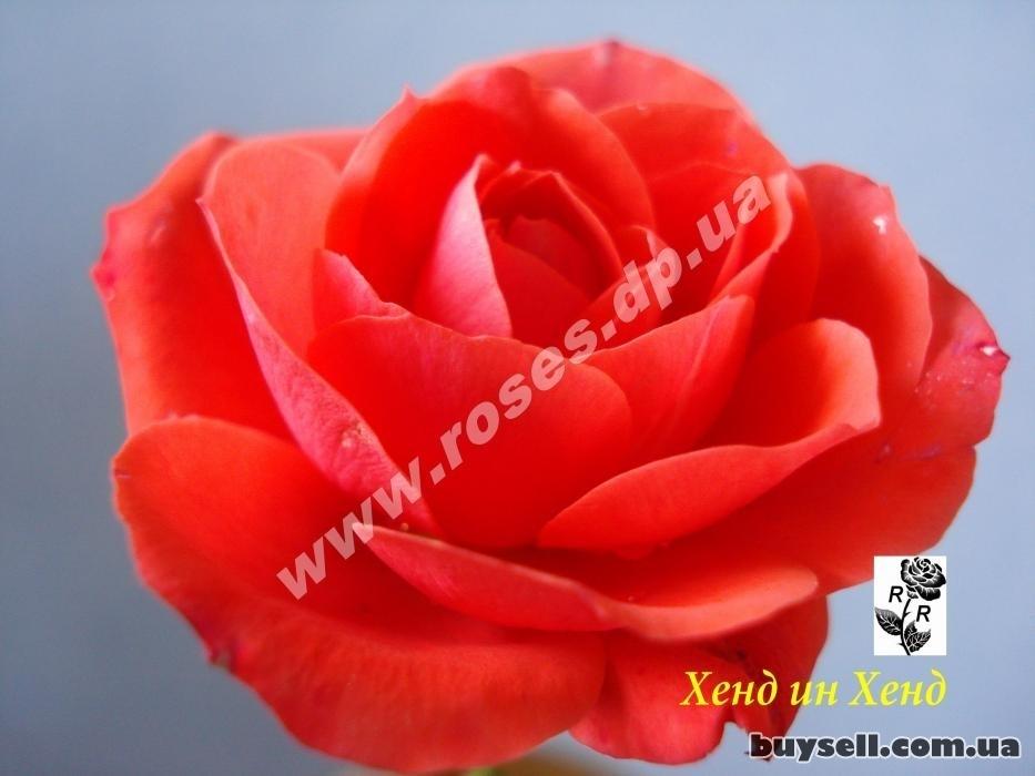 Саженцы роз на любой вкус в Днепре изображение 2