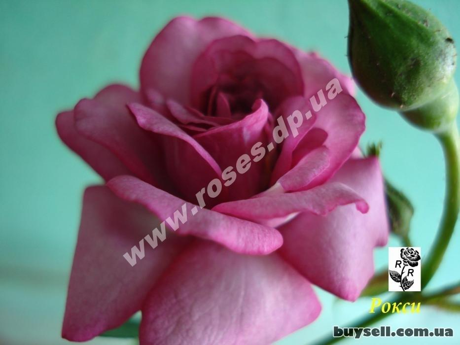 Саженцы роз на любой вкус в Днепре изображение 5