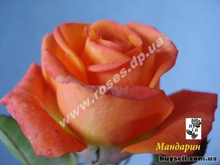 Саженцы роз на любой вкус в Днепре изображение 4