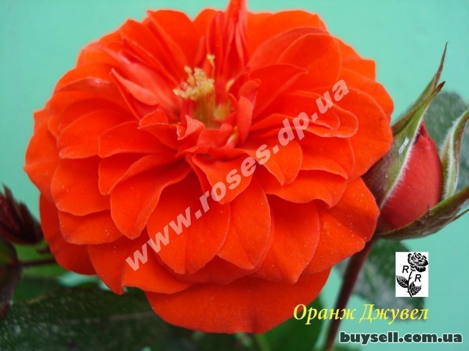 Саженцы роз на любой вкус в Днепре изображение 3