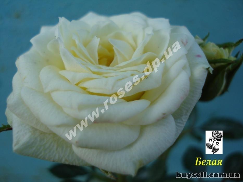 Саженцы роз на любой вкус в Днепре