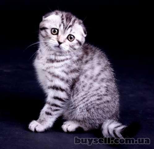 Котенок Scottish Fold,  окрас Black Silver Spotted Tabby (ns 24)  - ви