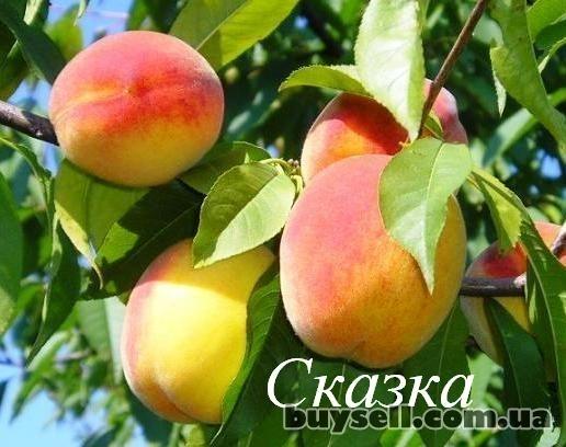 Саженцы фруктовых деревьев изображение 2