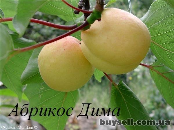 Саженцы фруктовых деревьев изображение 4