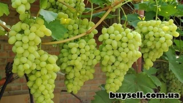Виноградные саженцы сорта Аркадия изображение 2