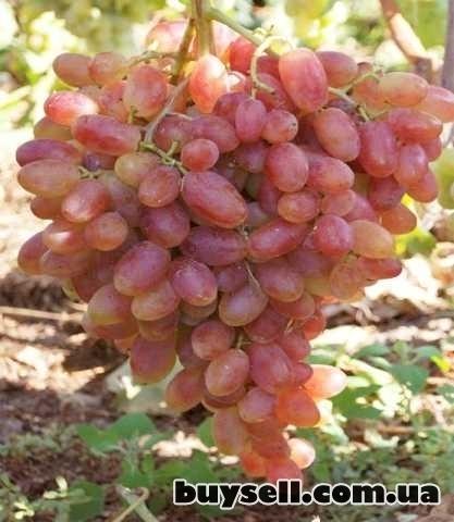Виноградные саженцы сорта Аркадия изображение 3
