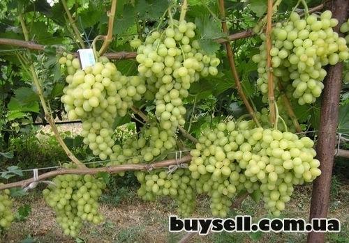 Виноградные саженцы сорта Аркадия изображение 4
