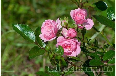 Купить Rizactive Rose,  10 мл изображение 5