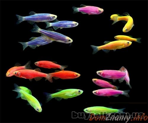 """флуорисцентные """"светящиеся"""" рыбки в зоомагазине """"нептун изображение 2"""