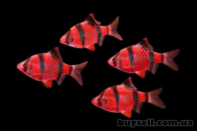 """флуорисцентные """"светящиеся"""" рыбки в зоомагазине """"нептун изображение 3"""