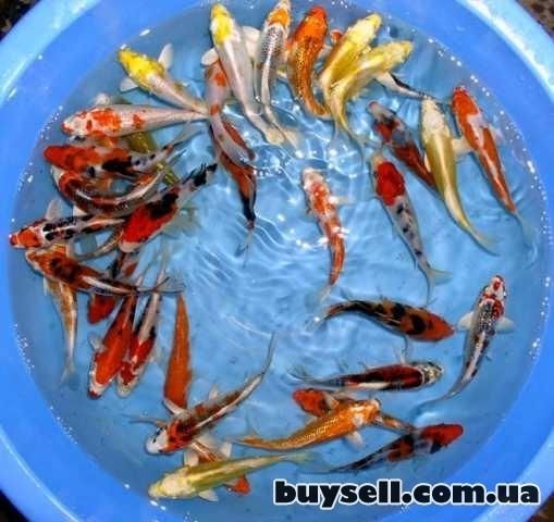 рыбки для пруда,карп кои,малек кои,корм для кои,водные растения,кои изображение 3