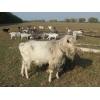 Козлята, коза, козёл на племя. Породы: зааненские, ламанча