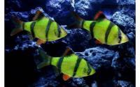 """флуорисцентные """"светящиеся"""" рыбки в зоомагазине """"нептун"""
