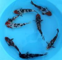 рыбки для пруда,карп кои,малек кои,корм для кои,водные растения,кои