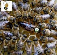Карніка.  Матка.  Бджоломатка з Німеччини