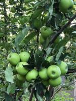 Яблоневый сад 2 га в с. Азат