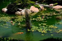 пруд, водные растения, рыбки, карпы кои оптом, нимфеи, камыш, рогоза,